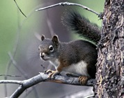 Red-Squirrel2