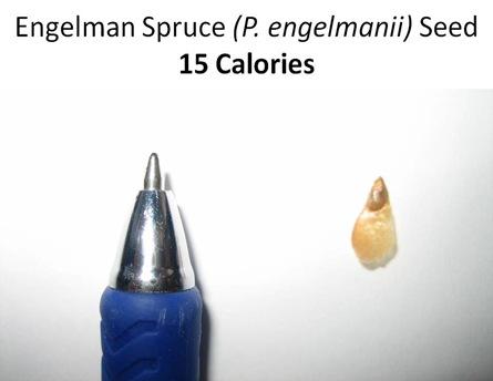 E Spruce Seed Caption
