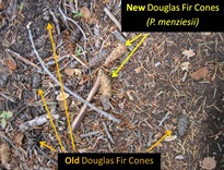 DFir cones caption