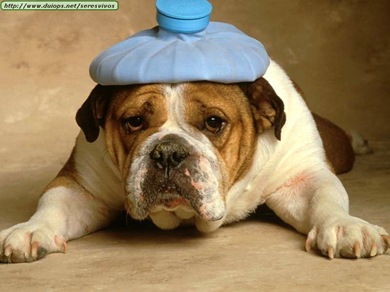 bulldog-with-headache1