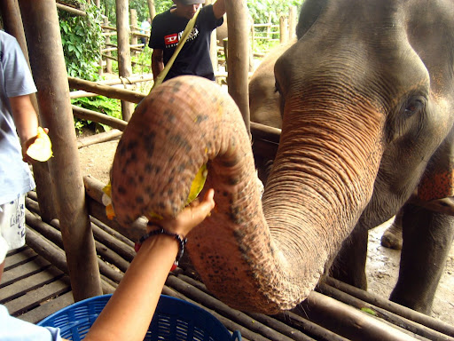 Volunteer at the Elephant Nature Park