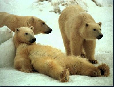 osos_descansando