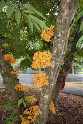 Saraca cauliflora