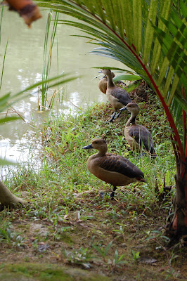 Lesser Whistling Ducks