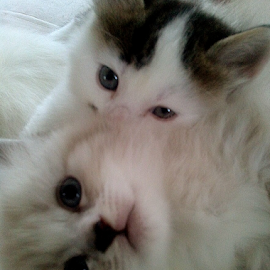 Cuddles by Lyz Amer - Animals - Cats Kittens ( kittens,  )