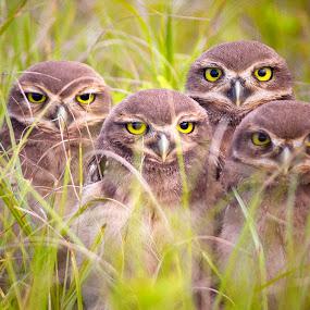 4 brothers !  by Itamar Campos - Animals Birds ( sibling, owl, birds, burrowing,  )