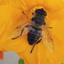 Hoverfly or Flower Fly
