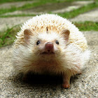 Black-eyed Cinnicot Four-toed or African Pygmy Hedgehog