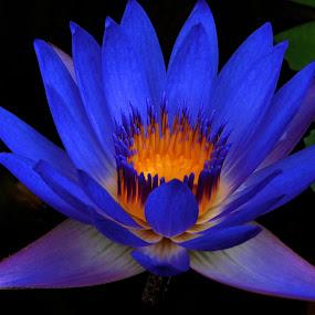 Purple Lotus by Lolotan Dalimunthe - Flowers Single Flower