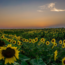 Sunflower Field by Tudor Migia - Landscapes Prairies, Meadows & Fields ( clouds, field, sunset, sunflower, romania )