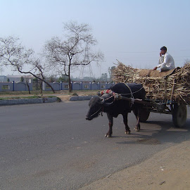 Buffalo Cart.  by Thakkar Mj - Transportation Other ( buffalo, tranportation, cart, road, roads,  )