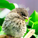 House Finch (juvenile)