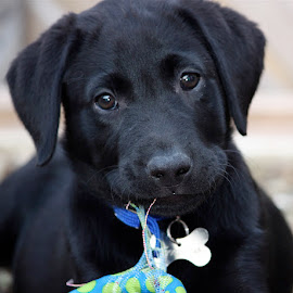 Murphy by Chrissie Barrow - Animals - Dogs Puppies ( toy, pup, ears, puppy, labrador, bokeh, nose, black, eyes,  )