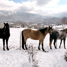 Captain, Bet & Dixie at home in the Smoky Mountains of Tennessee by Susan Lowe - Animals Horses