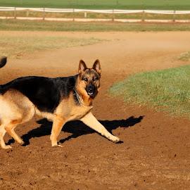 by Ashley Phipps - Animals - Dogs Running ( fence, sand, shepherd, german, dog )