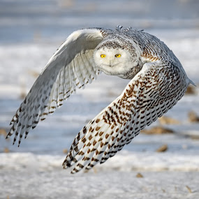 Snowy Owl on Patrol by Mark Theriot - Animals Birds ( flight, snow, owl, snowy owl, bif )