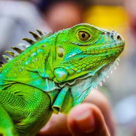 Iguana by Reiner Locsin - Animals Reptiles ( green, iguana, reptile, animal )