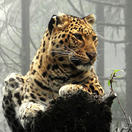 Leopardess... by Saumy Nagayach - Novices Only Wildlife ( lion, wild, zoo, tiger, leopard )