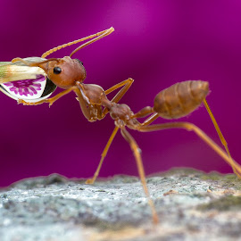 Ant 150126B by Carrot Lim - Animals Insects & Spiders