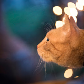 Night timewonder by Carole Brown - Animals - Cats Playing ( headshot, night lights, yellow cat, green and blue background )