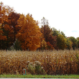 Leftover Corn and Fall Trees by Yvonne Collins - Landscapes Prairies, Meadows & Fields ( fall, color, colorful, nature )