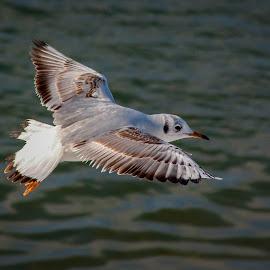 by Péter Kiss - Animals Birds ( bird, fly, flight )
