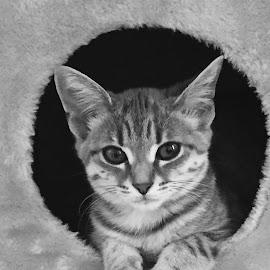 Ava by Kirsten Evans - Animals - Cats Kittens
