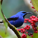 Mielero Reluciente - Shining Honeycreeper