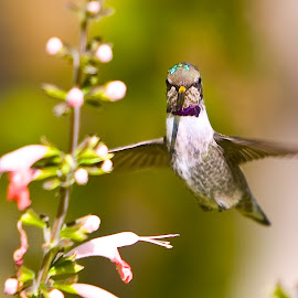 Hummer Posing by Dean Mayo - Animals Birds ( bird, pose, nature, hummingbird, smile, flower )