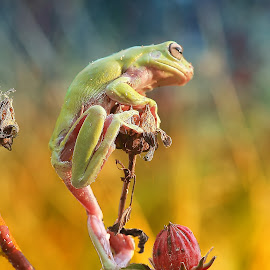 by Herpin Hendriadi - Animals Amphibians