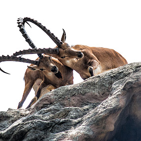 The fight by Vibeke Friis - Animals Other Mammals ( singapore zoo, horns, fighting, looking up, deer )