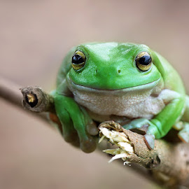 Hi There by Febrianto  Tanadi - Animals Amphibians