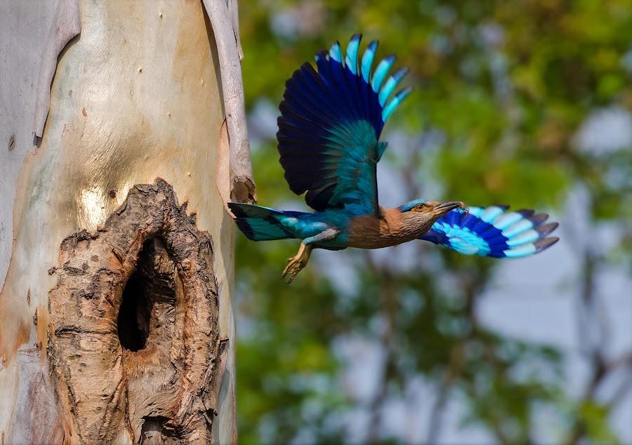 Indian Roller (Coracias Benghalensis) by Rahul Chakraborty - Animals Birds