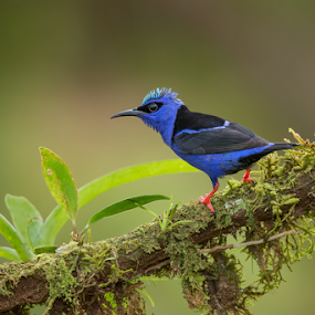 Red-legged Honeycreeper by Phoo (mallardg500) Chan - Animals Birds ( bird, honey-creeper, costa rica, wildlife, red-legged, animal )