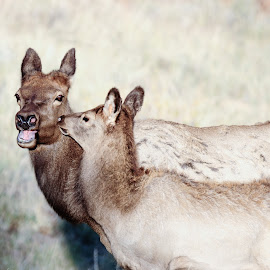 Mother-Daughter Lecture! by Jennifer McWhirt - Animals Other Mammals ( mammals, animals, mother, photographybyjenmcwhirt.com, elk, daughter, colorado, wildlife, humor, rocky mountain national park )
