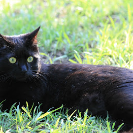 Shadow by Tammy Jones Perdue - Animals - Cats Portraits ( cat, outside, black )