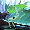 Leaf-mimic Mantis (Hood Mantis )