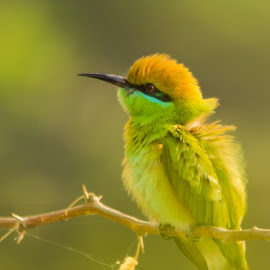 Bee eater Closeup by Jasraj Date - Novices Only Wildlife ( bird, moring light, novices only, wildlife, bee eater )
