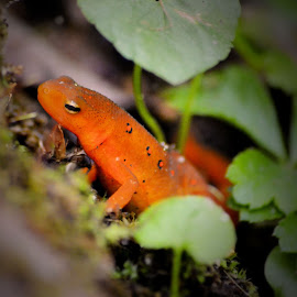 Red Eft by Thaddaeus Smith - Animals Amphibians ( red, eft )