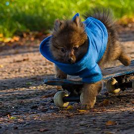 hugo the skateboard puppy by Michael Sweeney - Animals - Dogs Puppies ( natural light, play puppy, joy, happy, d800, skateboarder, skateboarding dog, d800 puppy dog, michael m sweeney fun, nikon, pomeranian )