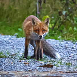 Curious fox by Stanislav Horacek - Animals Other Mammals