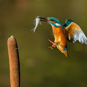 Kingfisher by Rigotti Jacopo - Animals Birds