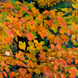 Autumn Sassafras by Orlen Stauffer - Nature Up Close Trees & Bushes ( sassafras, fall leaves, autumn leaves, state park, virginia, autumn colors, leaves, trails, fall, color, colorful, nature )