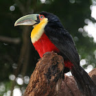 Red-breasted Toucan