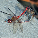 Autumn Meadowhawk dragonflies (mating pair, in tandem and in wheel)
