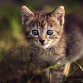 Little hunter by Pásztor András - Animals - Cats Kittens ( andrás, hungary, hunter, cat, nature, little, pásztor, portrait )