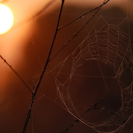 Morning Weave by Tim Murphy - Nature Up Close Webs ( webs, spider webs,  )