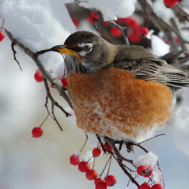 Robin in Winter Cold by Dennis McClintock - Animals Birds ( robin, robin in winter, bird in winter, bird photography, robin in the cold,  )