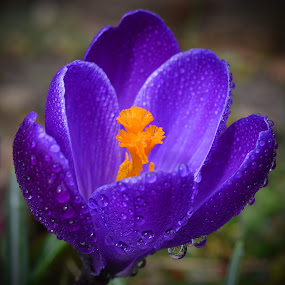 Opening! by Marco Bertamé - Flowers Flowers in the Wild ( water, wild, purple, drplets, crocus, yellow, wide, spring, close-up, open, season, raindrop, shower, rain, opened, , mood factory, color, lighting, moods, colorful, light, bulbs, mood-lites )
