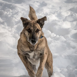 Abby's Snow Day by Andrew Butcher - Animals - Dogs Running ( excitement, snow dog, winter, white background, fun )